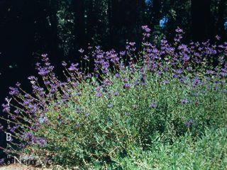 Salvia clevelandii 'winifred gillman'a