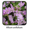 Allium un