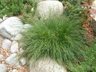 Carex pansaa