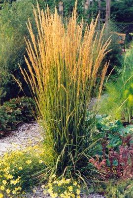 Calamagrostis 'karl foerster'a