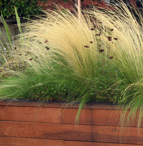 Feather-grass-and-cosmos