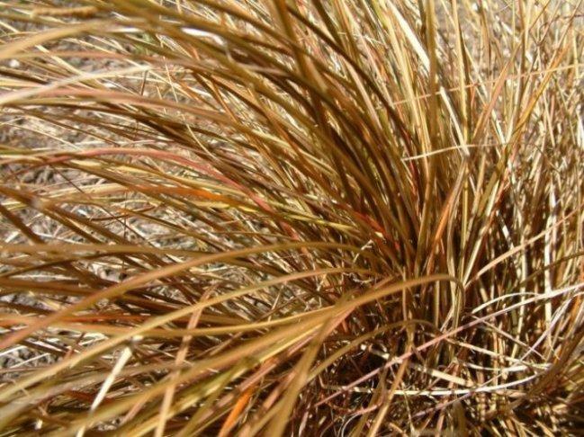 Carex buchananiib