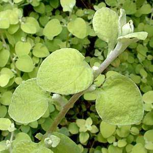 Helichrysum_Limelight