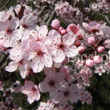 Purple_Leaf_Plum_prunus_flower_3x3