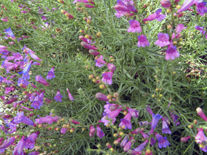 Penstemon-mb