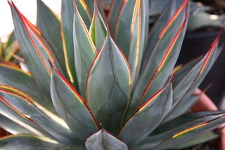 Agave 'Blue glow'_2