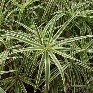 Carex_phyllocephala_Sparkler