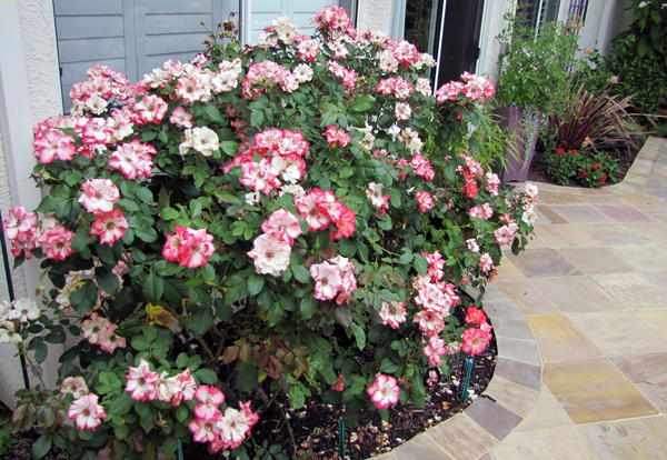 blue planet garden blog plants for small gardens betty boop rose. Black Bedroom Furniture Sets. Home Design Ideas