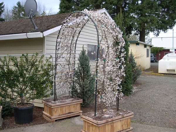 Blue planet garden blog plants for small gardens weeping for Weeping trees for small gardens