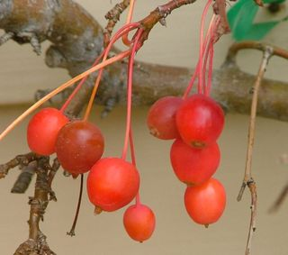 Molten Lava fruit z