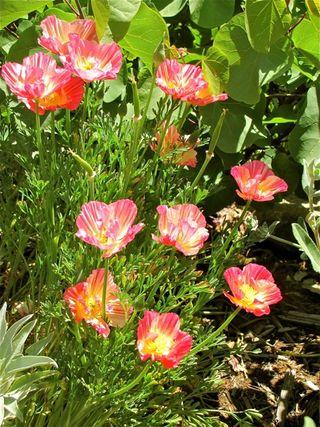 Escholtzia Californica 'Aprico Chiffon'