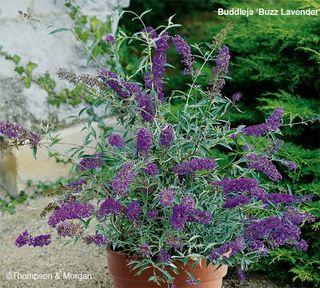 Buddleja 'Buzz Lavender'