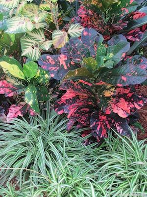 Croton and dianella