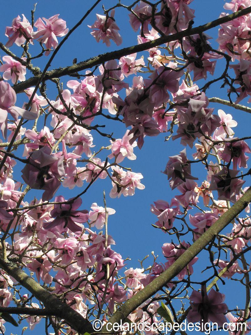 Magnolia cambellii