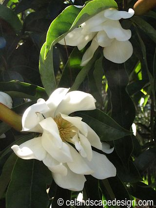 Magnolia cambellii 'Strybing White'