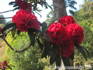 1.Rhododendron 'Fred Cummings'