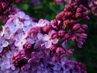 Lilac photo by Peter Roome