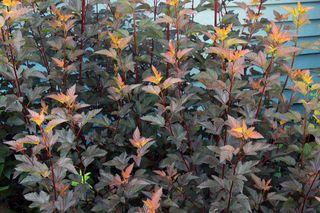 Physocarpus-Coppertina