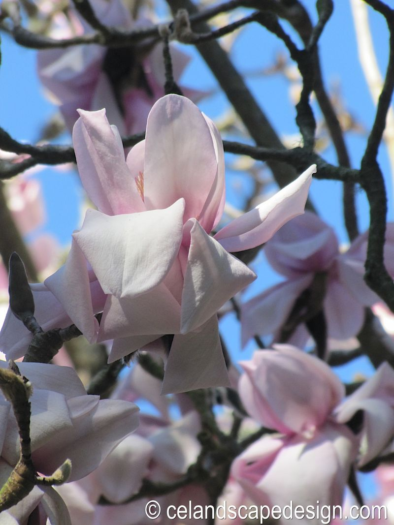 1.Magnolia cambellii