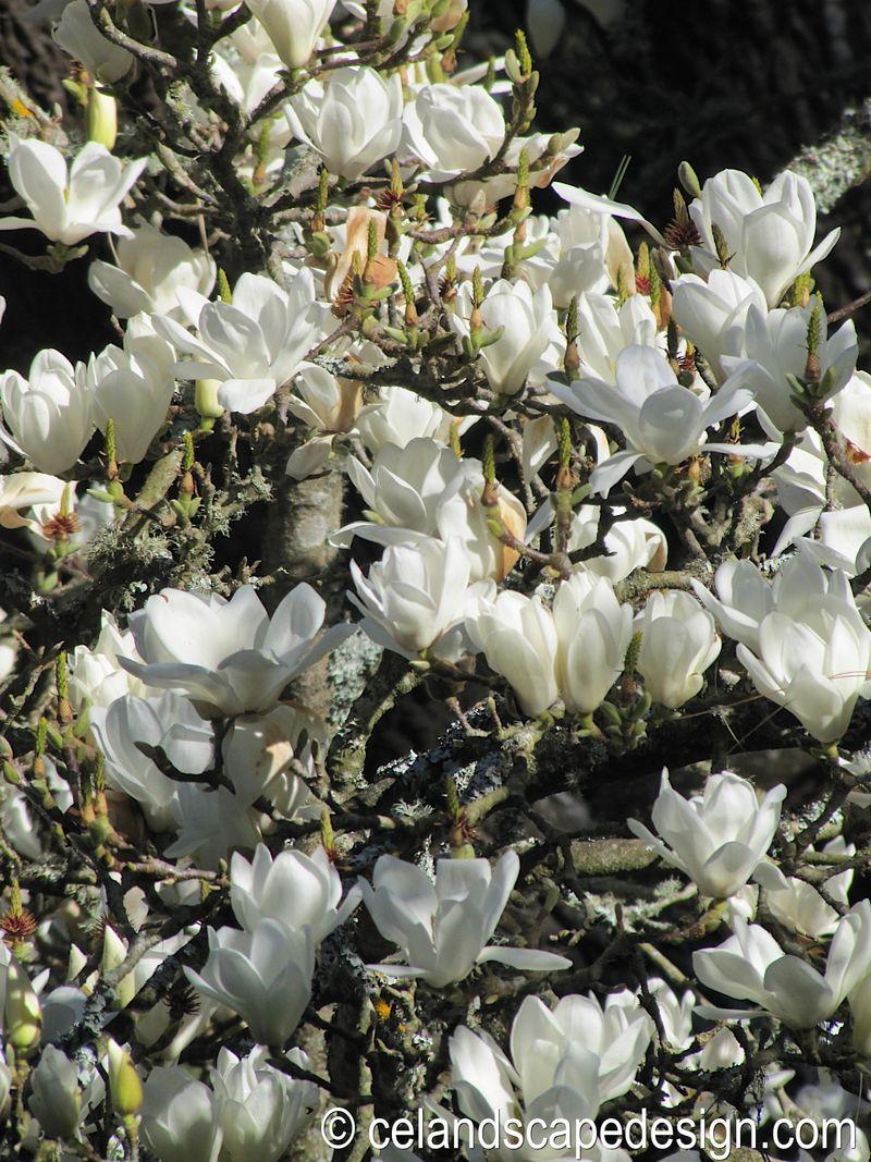 Magnolia doltsopa - Version 2