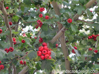Crataegus berries 128