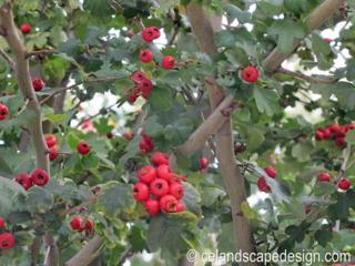 Crataegus berries 128