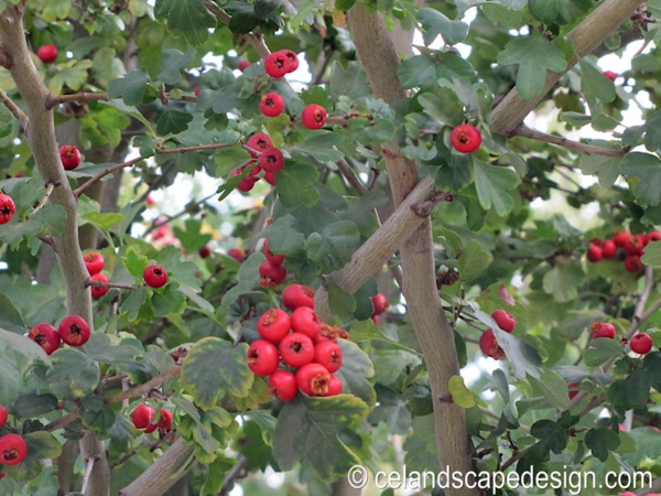 Blue Planet Garden Blog: Trees for Small Gardens: Paul's Scarlet